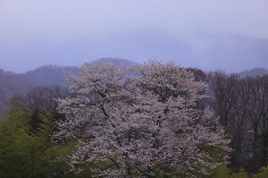 里山の桜.jpg